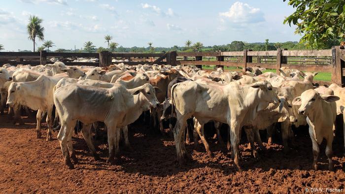 AMAZÔNIA NOTÍCIA E INFORMAÇÃO: Greenpeace liga frigoríficos a criação ilegal de gado em área protegida