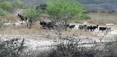 MPF: MPF obtém decisão que determina apreensão de gado clandestino na terra Pankararu