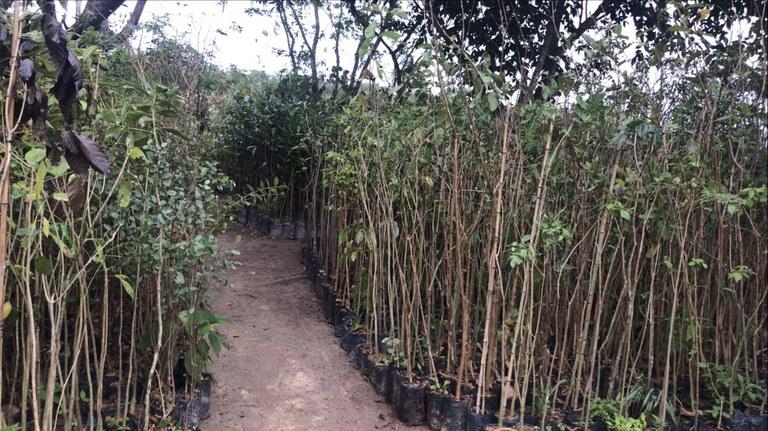 FUNAI: Funai vai distribuir 1.500 mudas de árvores nativas para Terras Indígenas nos estados do RJ e SP